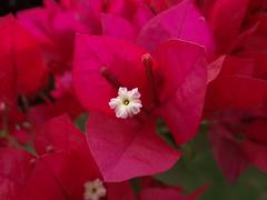 DSC04061 (familiapratta) Tags: flowers flores flower nature iso100 sony natureza flor hx100v dschx100v