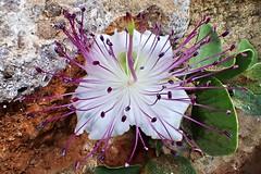 Capparis spinosa, Linnus 1753 (Brassicales: Capparace) (ciaociaoxxx) Tags: hdr spinosa capparaceae capparis brassicales quercetin