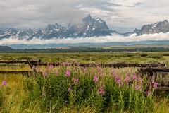 Grand Teton and fireweeds (greggohanian) Tags: wildflowers grandtetons tetons railfence fireweeds