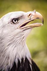 Akron Eagle 3-0 F LR 5-22-16 J438 (sunspotimages) Tags: birds animals zoo eagle baldeagle zoos zoosofnorthamerica