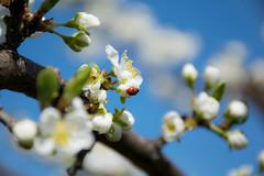 Nyckelpiga i plommontrdet (lenalaxhed) Tags: spring ladybug blommor plumblossom vr nyckelpiga plommon