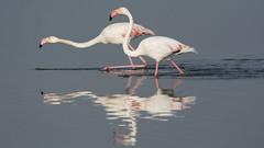 Fishing (jrosvic) Tags: bird spain cabo flamingo salinas cartagena palos