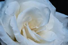 Blanco sobre negro (cmarga28) Tags: macro flor blanca rosa cerca gotas rocio color suave belleza delicada beauty photography foto flower nikon digital raw d750