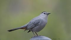 Catbird (Diane G. Zooms--- On/Off) Tags: catbird wildbirds graycatbird naturephotos sunrays5 catbirdphotos dianegiurcophotography
