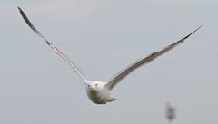 Herring Gull 1 20160507 (Steve TB) Tags: bird canon bif herringgull birdinflight broadstairs eos7dmarkii