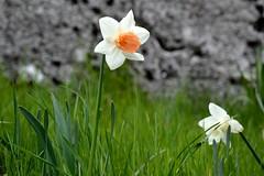 DSC_1113 (moniq84) Tags: flowers italy orange parco white flower green nature liguria natura erba monte fiori fiore bianco narciso arancione narcissus antola narcisi montiliguri casadelromano
