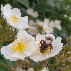 I colori della primavera (Luciana.Luciana) Tags: flowers primavera spring colours ape fiori colori bianco printemps frhling