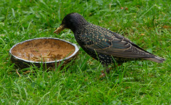 That's Quite a Mouthful (Mike Serigrapher) Tags: bird garden european starling common eurasian woodley vulgaris sternusvulgaris sternus