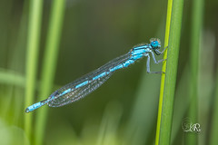 Agrion porte coupe - enallagma cyathigerum (Domaine Des Oiseaux, Ariege) 15 mai 2016 (Christophe.R.) Tags: france macro canon dragonfly hiver 100mm 1200 libellule 400iso enallagmacyathigerum coenagrionidae enallagma ddo odonate macro100mm mazres midipyrenes agrionportecoupe domainedesoiseaux zygopteres 130 agrionportecoupeenallagmacyathigerum wwwlesamisdudomainedesoiseauxfr ladddo