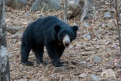 Baloo, the Bear (fascinationwildlife) Tags: bear park morning wild summer india tree nature animal forest mammal asia wildlife natur national sloth predator rare encounter br ranthambhore lippenbr
