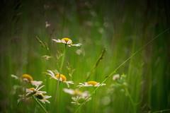 Daisy delights (jo fields) Tags: summer flower daisy