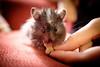 Snack Time (conradolson) Tags: pet animal eating hamster churro