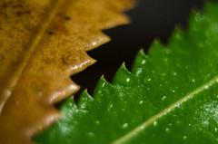Serrated (2) (OzzRod) Tags: macro leaves pentax extensiontube k50 serrations bansia autotakumar35mmf23
