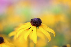 hues (-j0n4s-) Tags: pink flowers plants plant flower color green art nature yellow canon 50mm flickr susan bokeh hues f18 blackeyedsusan blackeyed 50mm18 2015