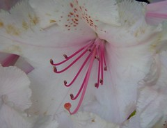 A hint of pink (LEALSWEE) Tags: flower fleur garden spring may stamens rhododendron