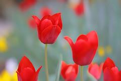 IMG_9731 (Yes Studio) Tags: usa plant flower nature colors field nokia bright bokeh outdoor depthoffield flowerbed tulip serene 1020 depth cincinatti filed lumia nokialumia1020