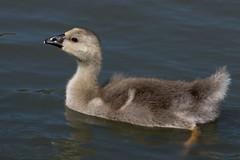 A Well Protected Gosling (MelRoseJ) Tags: nature birds northerncalifornia goose bayarea gosling alpha autofocus sonyalpha sal70400g a77ii sonyilca77m2