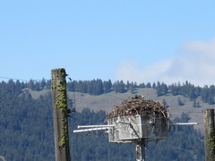 Nesting safely (jamica1) Tags: canada radio bc nest okanagan columbia observatory research national raptor council british nrc dominion astrophysical drao