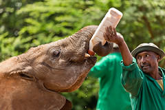David Sheldrick Elephant Orphanage 6 (Grete Howard) Tags: safariinafrica safari whichsafaricompany bestsafaricompany calabashadventures travel holiday africa kenya elephants davidsheldrickwildlifetrust elephantorphanage wildelife animals nairobi