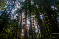 Majestic Redwood trees (Abhijit B Photos) Tags: california trees sun sunlight plant tree forest landscape star outdoor muirwoods tall rays redwoodtrees majestic height nationalmonument starlight californiaparks