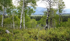 2016 05 19 Grand Teton national Park 30a (omigosz) Tags: mountain tree wyoming grandtetonnationalpark
