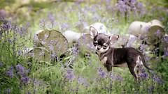 Dolly (Ruth S Hart) Tags: chihuahua cute bluebells woods nikon essex purebred romaneve ruthshart