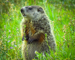 Wood Chuck - IMG_0246 (bill.niven) Tags: woodchuck