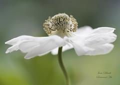 "Anemone ""Harmony White"" (Jane Dibnah Botanical Art) Tags: white green nature flora anemone macrophotography floralart beautyinnature creativephotography"