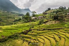 Arroz soloa (aner.mentxaka) Tags: mountain landscape asia rice terrace paisaje vietnam ur ricepaddies monte agriculture ricepaddy sapa arroz mong mendi arrozal paisai