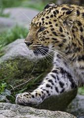 Profile of the young leopardess walking (Tambako the Jaguar) Tags: walking portrait face stone plants amur female young leopardess cute fluffy leopard big wild cat mulhouse zoo france alsace nikon d4