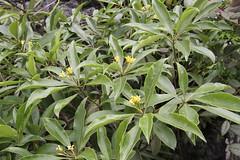 Nongla/ - Pittosporum sp./ 0822 (Petr Novk ()) Tags:  china na  guangxi  asia asie  plant rostlina  flower wildlife nature nongla  mashancounty  pittosporum   pittosporaceae