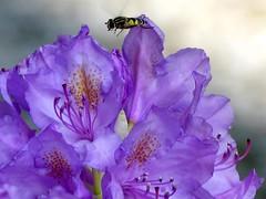 Maya The Bee ;) (BrigitteE1) Tags: flowers flower flora blossom lila bee lilac blume blte hoverfly biene familysyrphidae schwebfliege flowerfly specanimal mayathebee