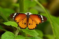 Afrikaanse Monarch (Rene Mensen) Tags: macro netherlands wings nikon rene monarch micro nikkor mariposa mensen wildlands afrikaanse monarchvlinder