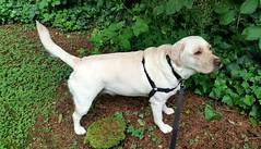 Gracie standing in the back garden (walneylad) Tags: summer dog pet cute june puppy gracie lab labrador canine labradorretriever