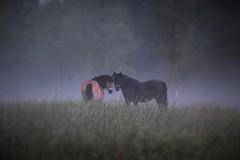 IMG_6402 (2) (karlsson_mari) Tags: horses fog dimma hst hstar