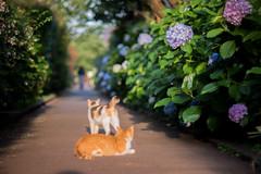 11062016_stray cats (Chicaco11) Tags: plant flower animal june japan cat 50mm tokyo bokeh panasonic rainy bloom   hydrangea nikkor    ajisai    gx7 chicaco11 dmcgx7