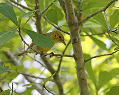 Pine Warbler (Setophaga discolor) (Mary Keim) Tags: taxonomy:binomial=setophagadiscolor centralflorida marykeim lowerwekivariverpreservestatepark