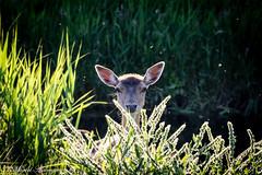 Deer peeking over a bush (Kenjirio) Tags: summer animals wildlife zomer zandvoort amsterdamse 2016 waterleidingduinen waternet