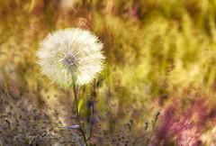 Dmuchawiec (kinga.lubawa) Tags: colors canon sommer kwiaty kwiat kolory lato kolorowe słoneczny słonecznie canon6d