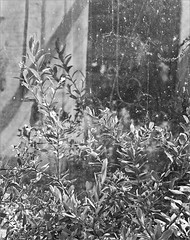 polygala (frscspd) Tags: cambridge shadow reflection glass sunshine mirror pentax takumar xp2 ilfordxp2 58mm mx ilford windowpane contrejour bertha pentaxmx glasspane polygala takumar58mm berthacottage ilfordxp2400bw 20160407 31030007