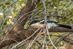 Swamp Boubou-150926_8677 (C&P_Pics) Tags: namibia anhingidae boubous swampboubou kuneneriverlodge hobarteretokunenelodge