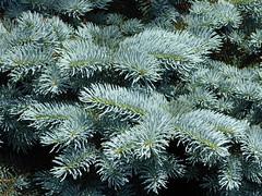 Wheaton, IL, Cantigny Park, Blue Spruce Needles (Mary Warren (7.0+ Million Views)) Tags: tree green nature flora needles spruce conifer cantignypark wheatonil