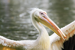 So, you want a pelican brief? (.: mike | MKvip Beauty :.) Tags: male bird nature water animal closeup backlight germany spring europe soft bokeh availablelight sony ngc sigma naturallight npc zen adapter handheld dreamy pelikan manual alpha tamron karlsruhe vc vogel backlighting mth pelecanusonocrotalus shallowdof greatwhitepelican mnnchen mc11  linnaeus1758 rosapelikan manualexposure extremebokeh smoothbokeh greenscene sonyalpha bokehlicious manualfocusing afadapter beyondbokeh emount mkvip sonyalpha6000 ilce6000 sonyilce6000 eftoemount sony6000 6000 sigmamc11 tamron70~300mm4~56spdiv tamron70~300mm4~56spdivcusd canonefe sigmamc11canonefe