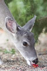 Coues white-tailed deer (Odocoileus virginianus couesi), Portal, Arizona (Daniel J. Field) Tags: deer whitetailed odocoileusvirginianus odocoileusvirginianuscouesi couesdeer