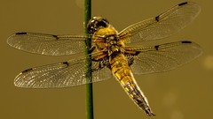Gold dragonfly (Yasmine Hens) Tags: macro insect gold europa flickr belgium dragonfly or ngc insecte libellule namur hens yasmine wallonie iamflickr flickrunitedaward hensyasmine