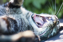 Jaws (madeleine fitzsimons selen) Tags: pet cute animal cat tabby whiskers jaws