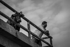 The Observers (arkamitralahiri) Tags: street travel people blackandwhite india man monochrome face cow indian streetphotography streetscene monotone varanasi hindu kashi kolkata benaras westbengal autofocus