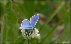 Common blue - Argus bleu (Herb) Tags: nature butterfly papillon mariposa commonblue polyommatusicarus argusbleu azurcommun