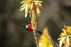 Greater Double-collared Sunbird (atlas1gp) Tags: greater sunbird doublecollared