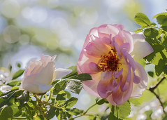 Delightful (BirgittaSjostedt) Tags: light summer sun plant flower beauty rose garden bokeh outdoor ie parfume magicunicornverybest